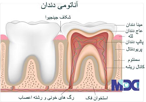 کاشت دندان با سلول های بنیادی و آناتومی دندان