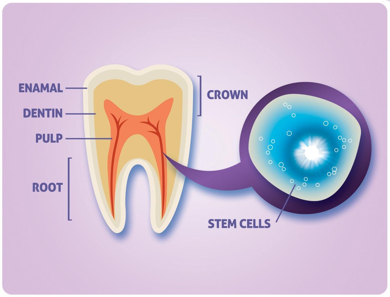 You are currently viewing کاشت دندان با سلول های بنیادی بهترین جایگزین دندان از دست رفته